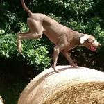 Oskar springt in der Hundeschule Bautzen