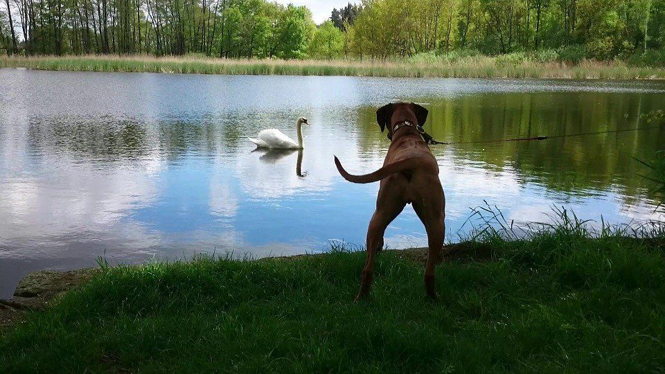 Sienna und Schwan in der Hundeschule Dresden und Tierpsychologie Sachsen