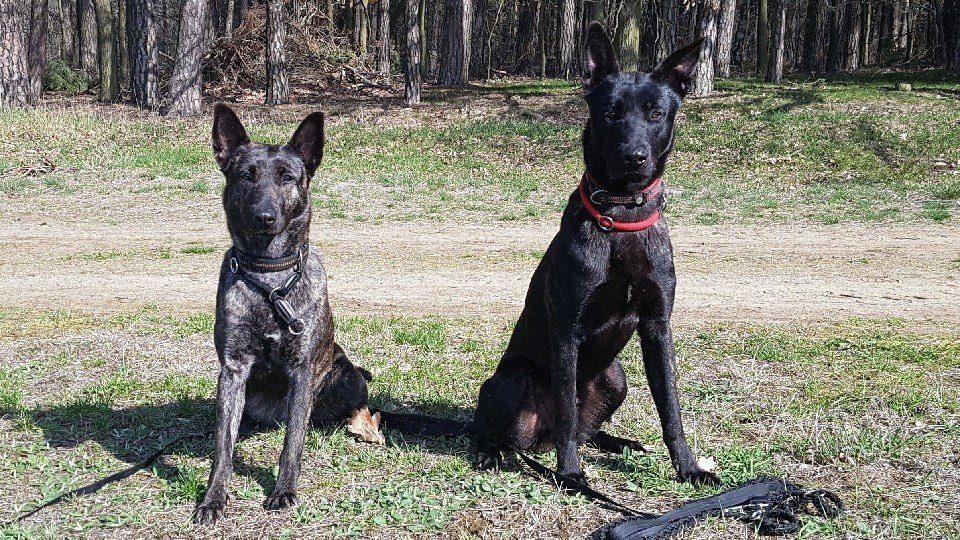 Hollandsherders in der Hundeschule Dresden und Tierpsychologie Sachsen