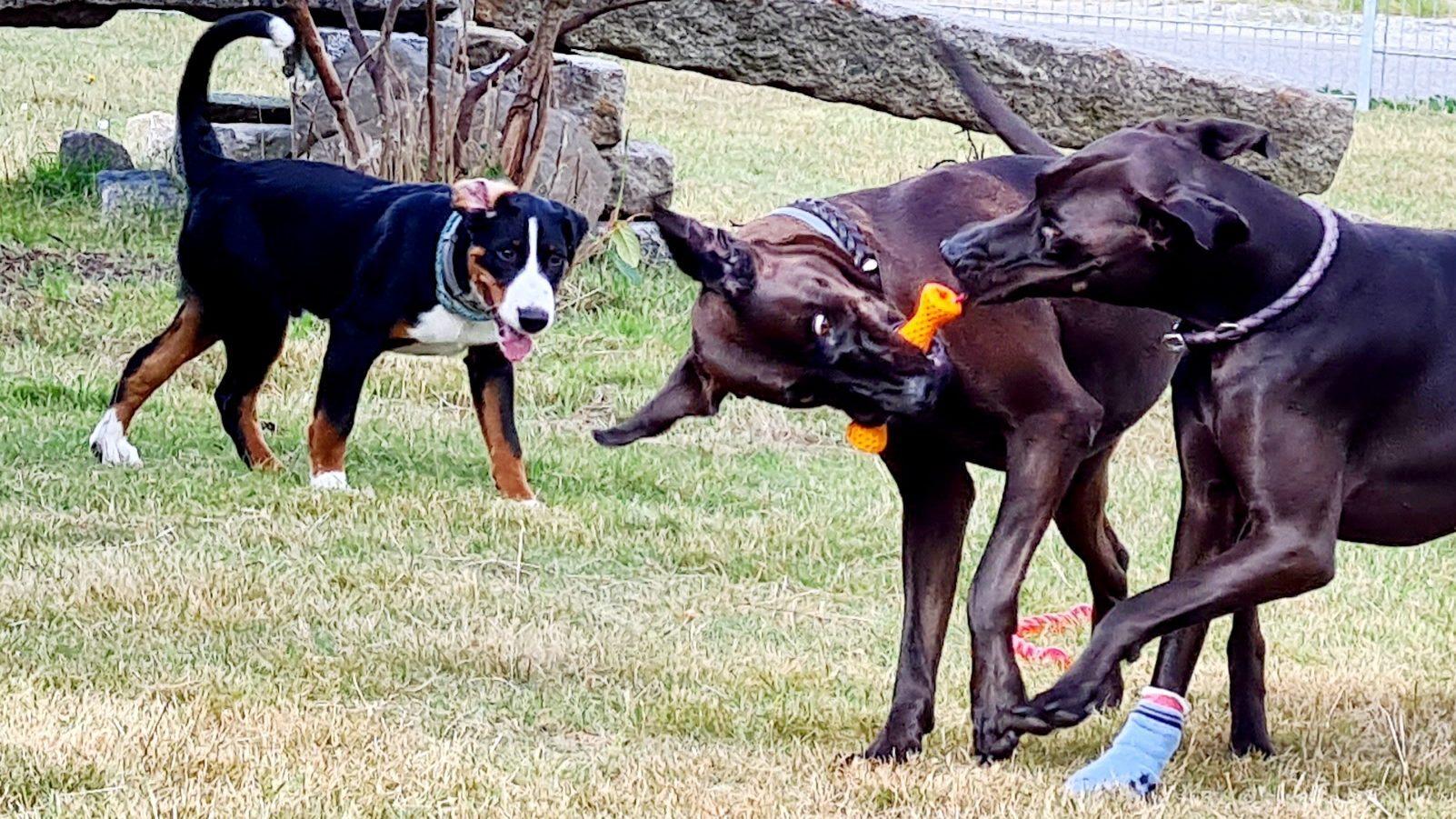 Große Hunde spielen ...